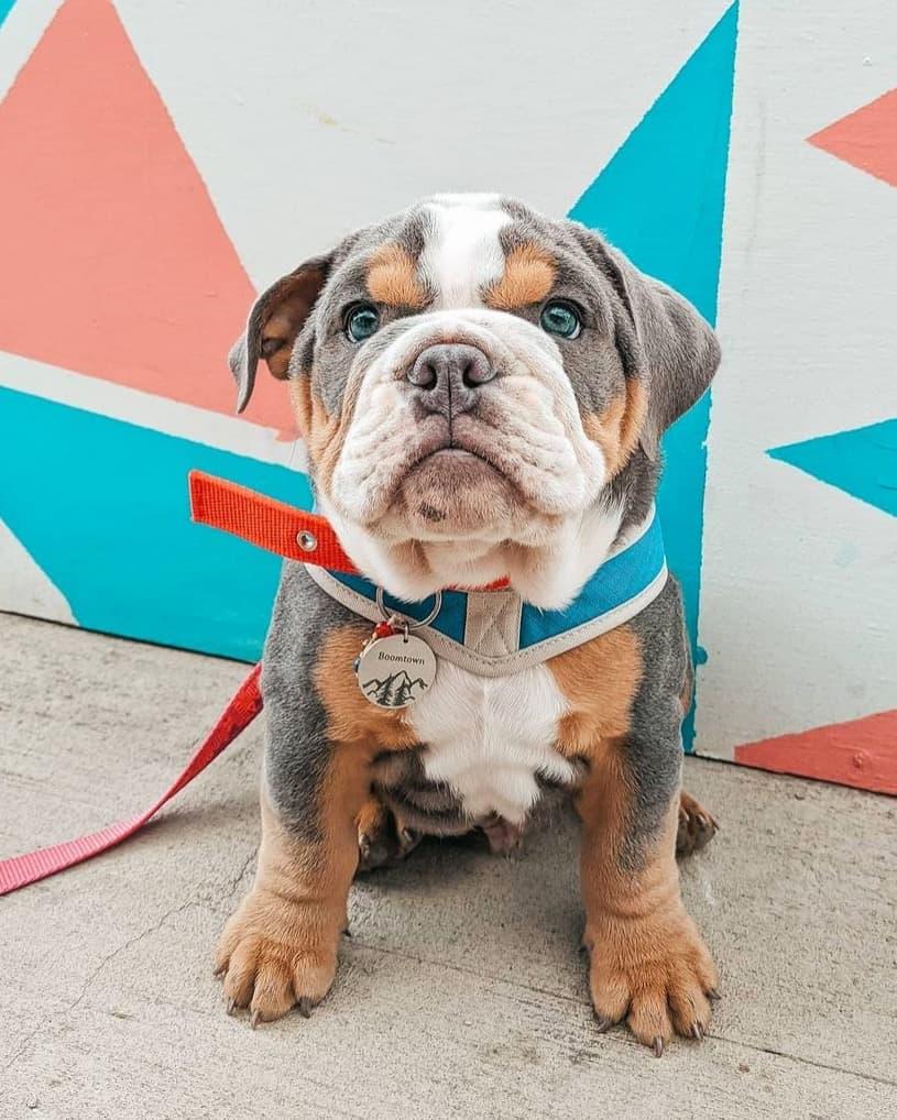 Cute blue English Bulldog puppy outdoors