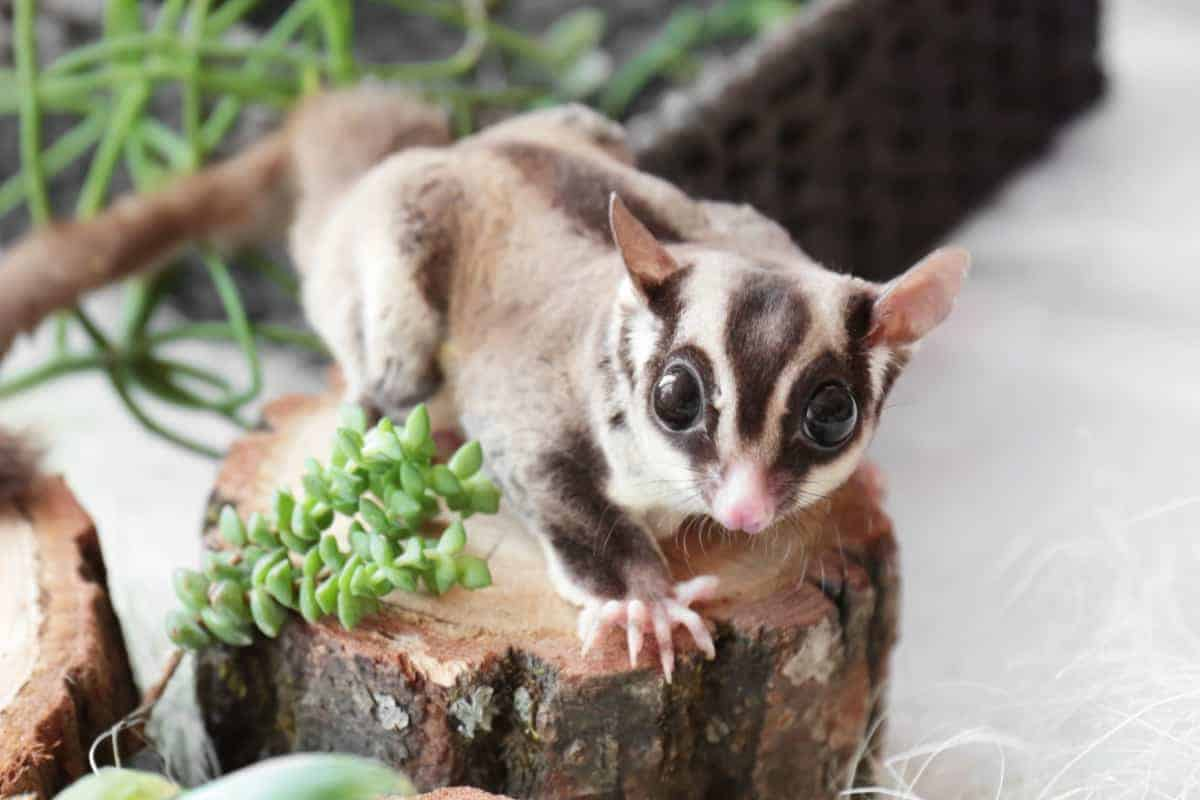 Cute funny sugar glider for sale how much does a sugar glider cost