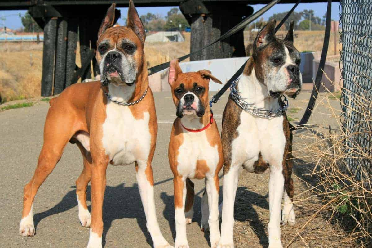 Different types and colors of Boxer Dogs