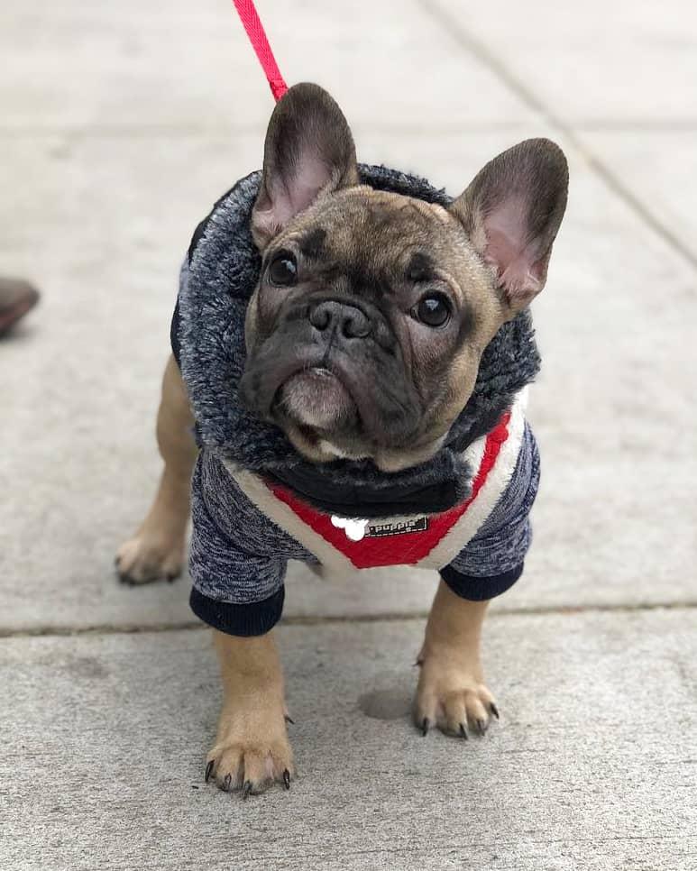 Fawn teacup French Bulldog walking on leash