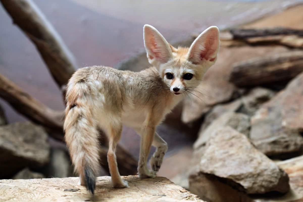 Fennec fox (Vulpes zerda) standing on a stone