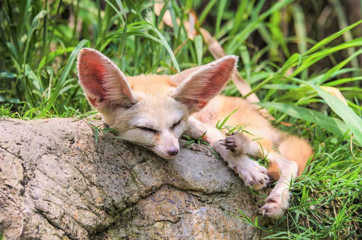 Fennec fox for sale how much does a fennec fox cost