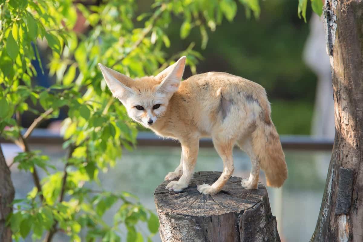 Fennec fox on a tree