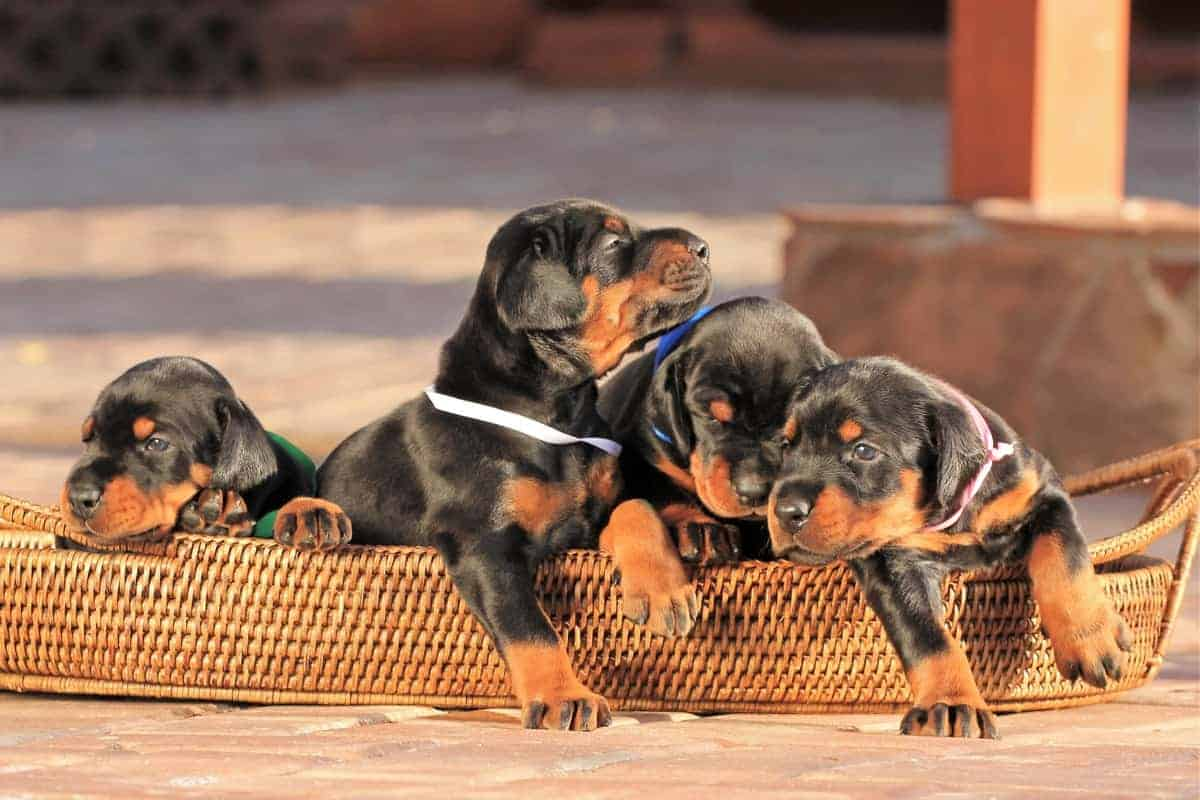 Four black and tan Doberman puppies for sale