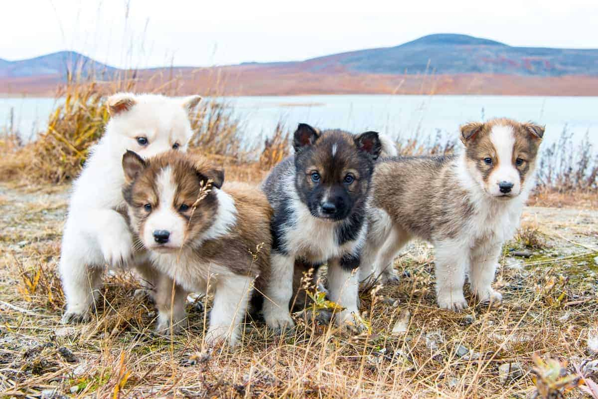 Four cute Siberian Husky puppies for sale