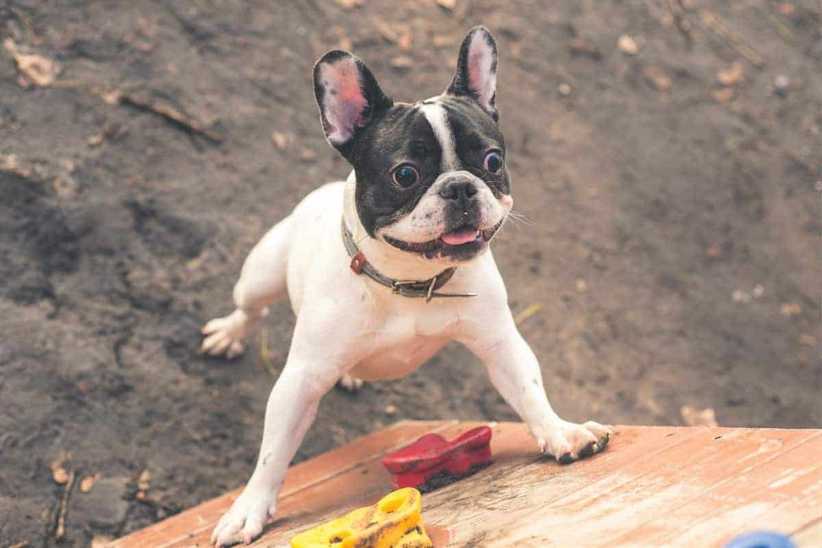 Frenchie rescue standing up curiously