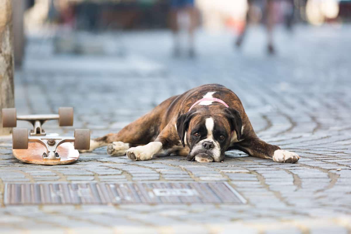 German Boxer dog lying on the street