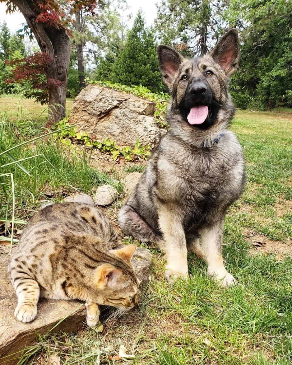 German Shepherd with dwarfism and a cat