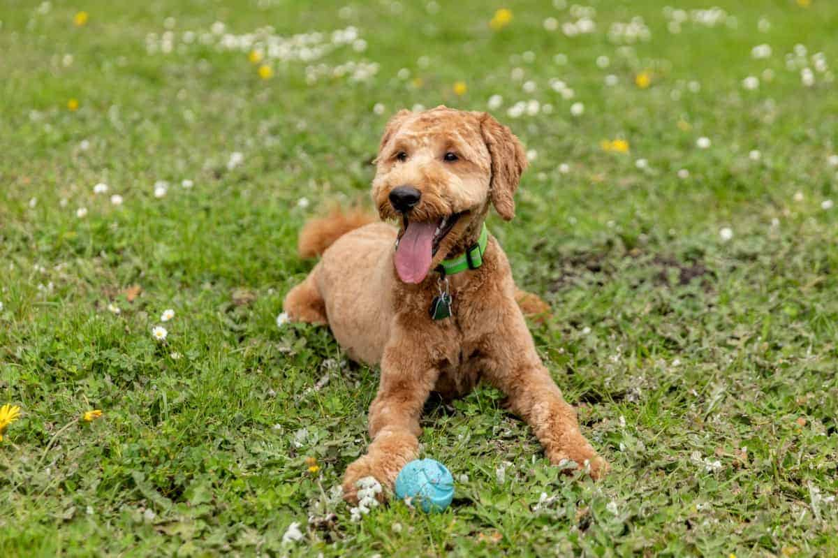 Goldendoodle puppy in the park playing fetch