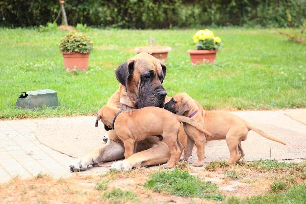 Great Dane adult and puppies for adoption