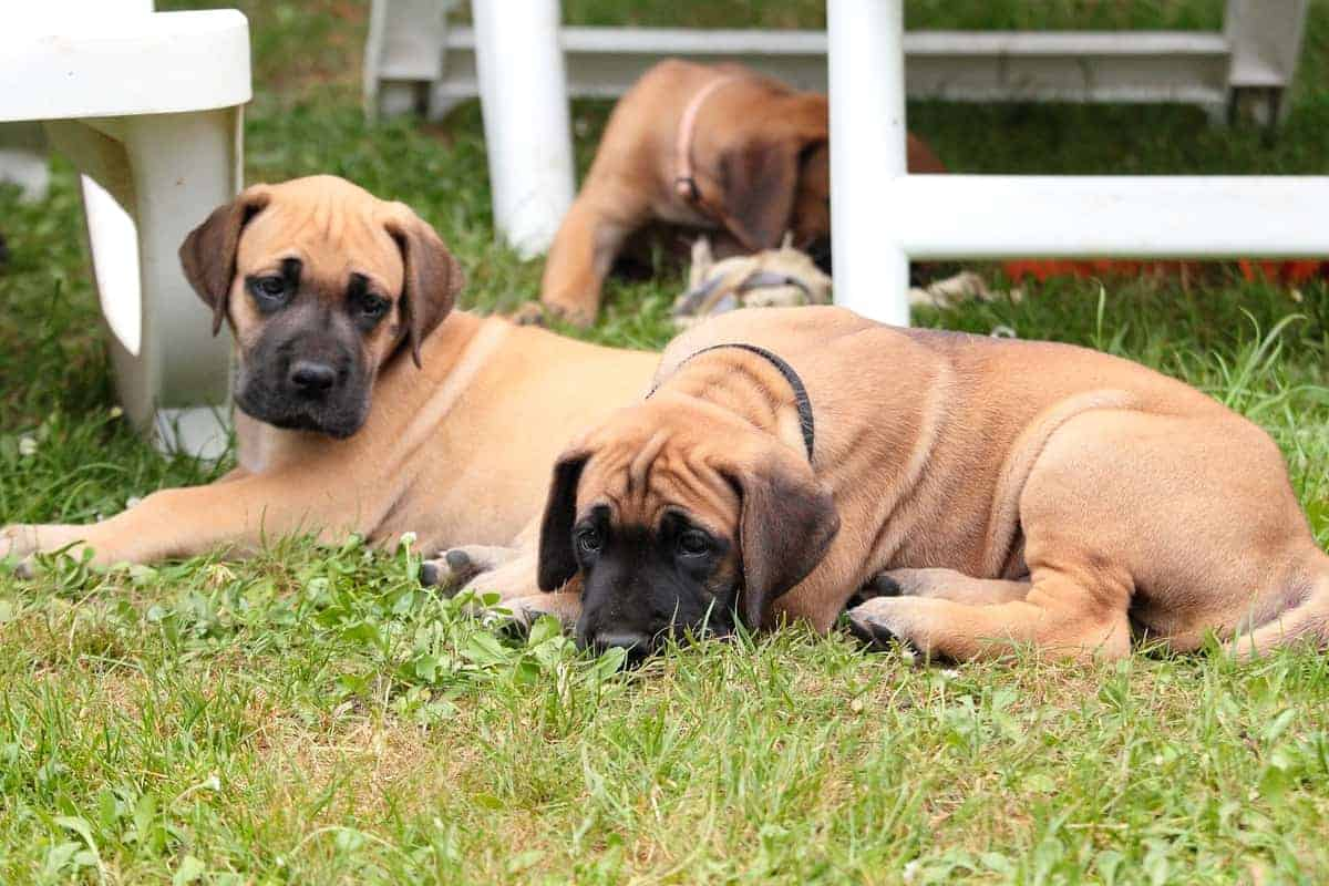 Great Dane puppies for sale playing outdoor