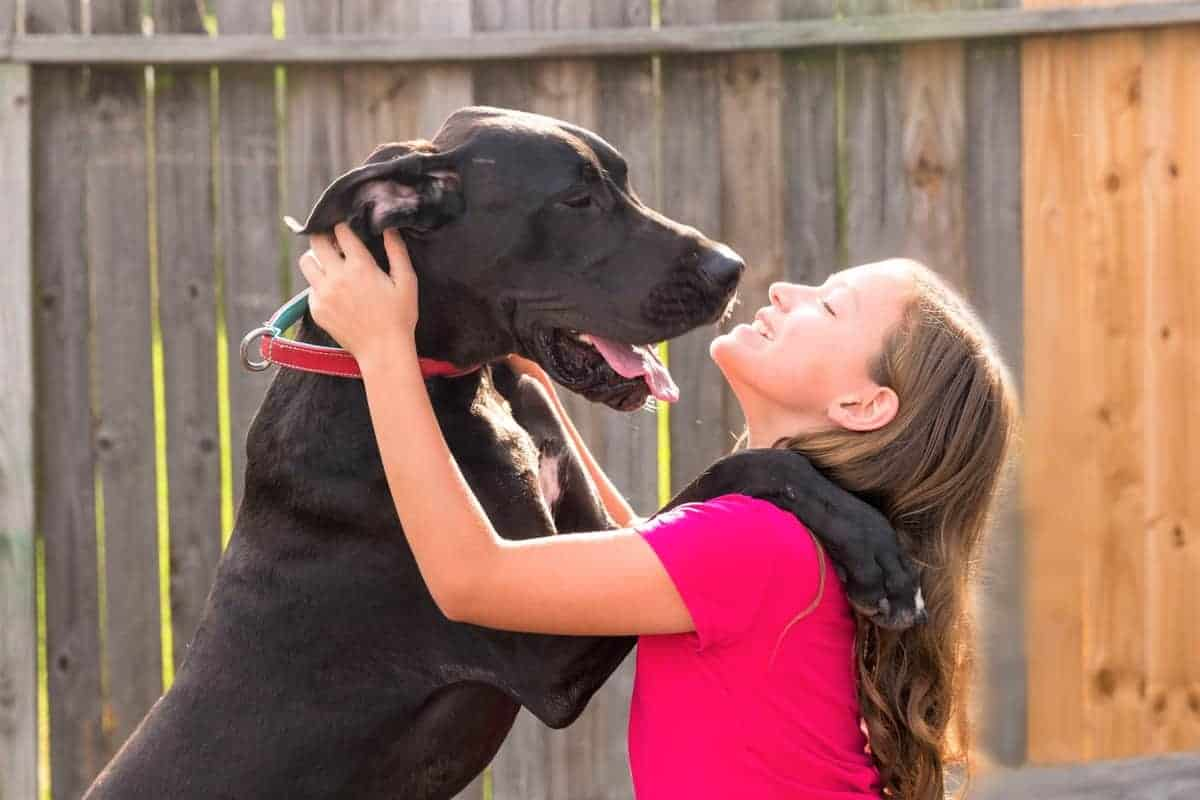 Great Dane rescue playing with a kid
