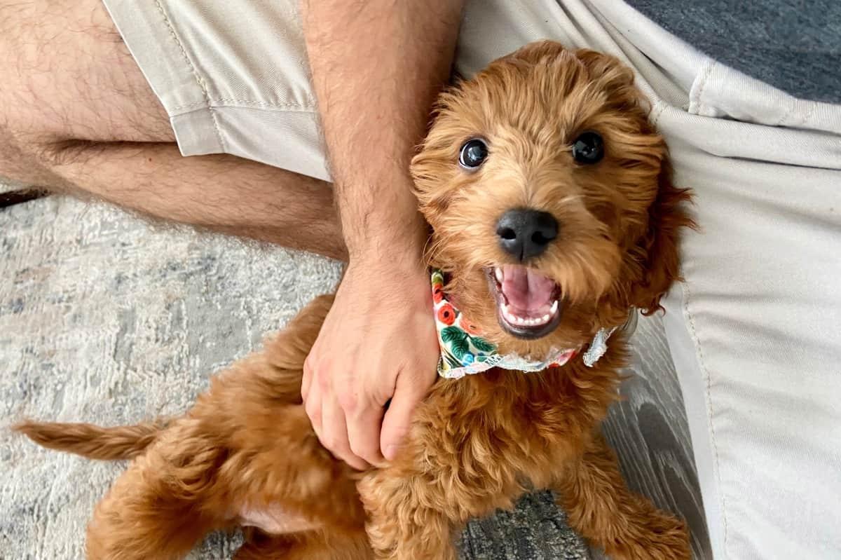 Happy Goldendoodle getting pet