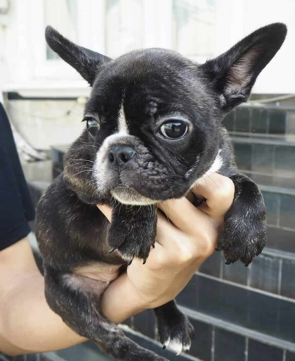 Man holding a teacup Frenchie puppy in hand