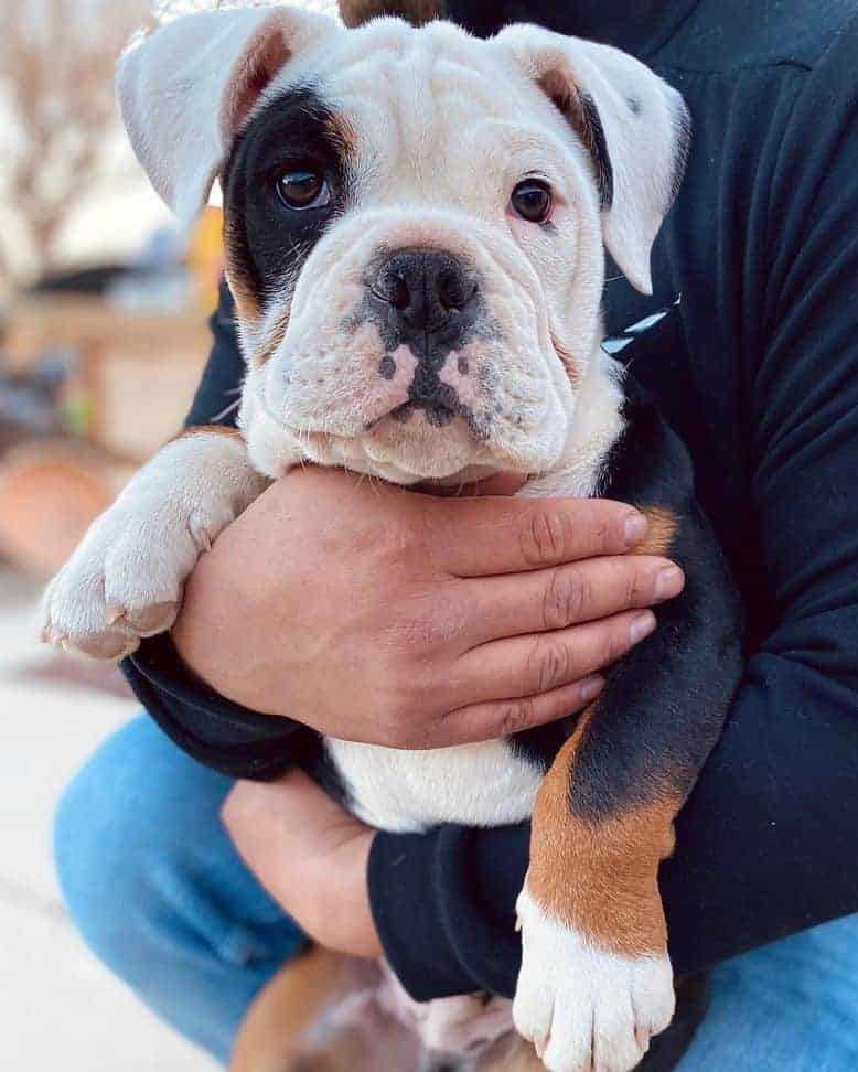 Man holding his tri color Bulldog puppy