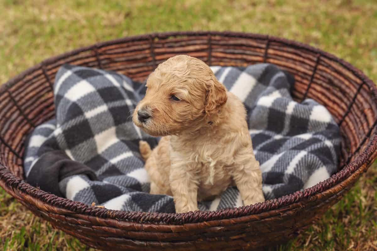 Mini Australian Labradoodle puppy for sale
