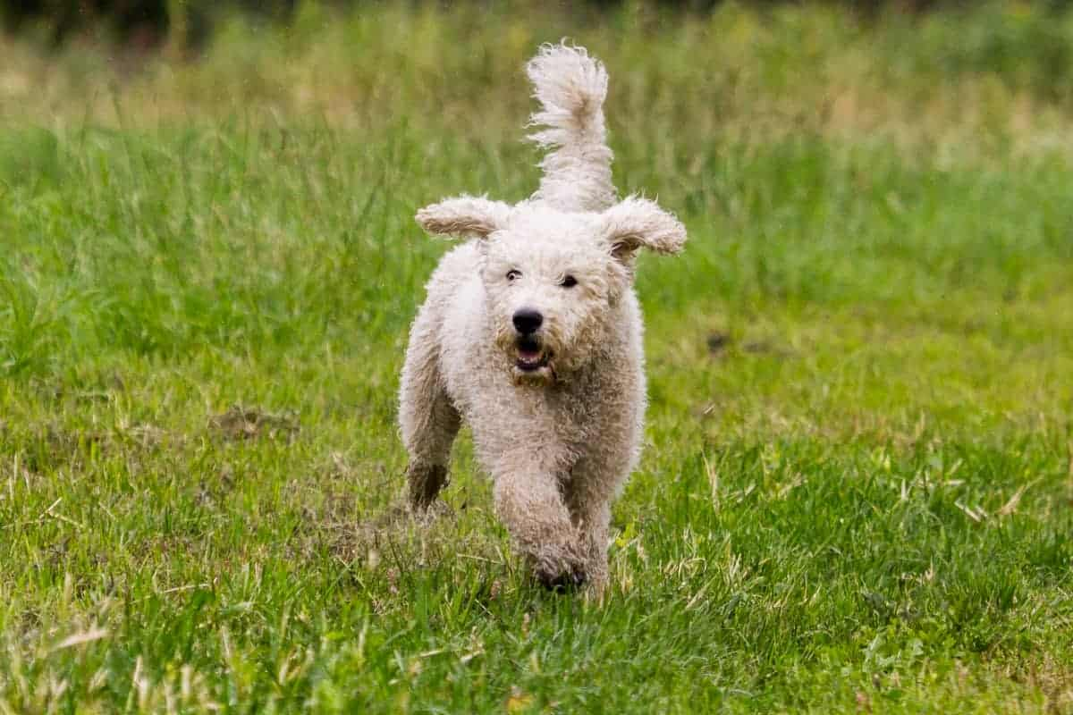 Mini Australian Labradoodle running in nature