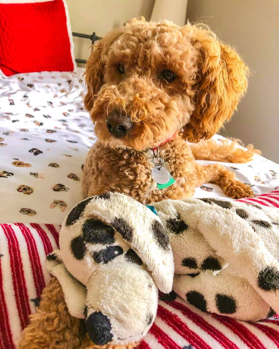 Miniature Australian Labradoodle puppy lying on a bed with its toy