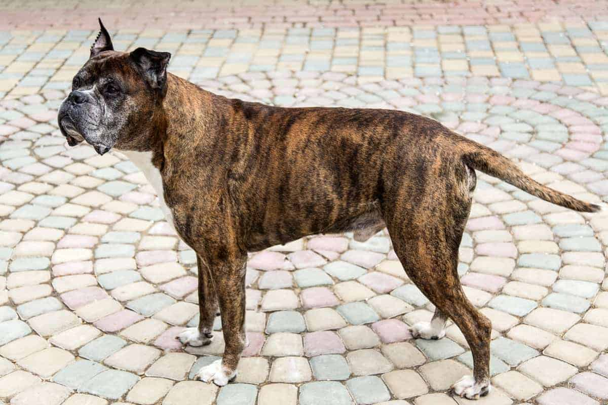 Old Boxer dog hanging on the street