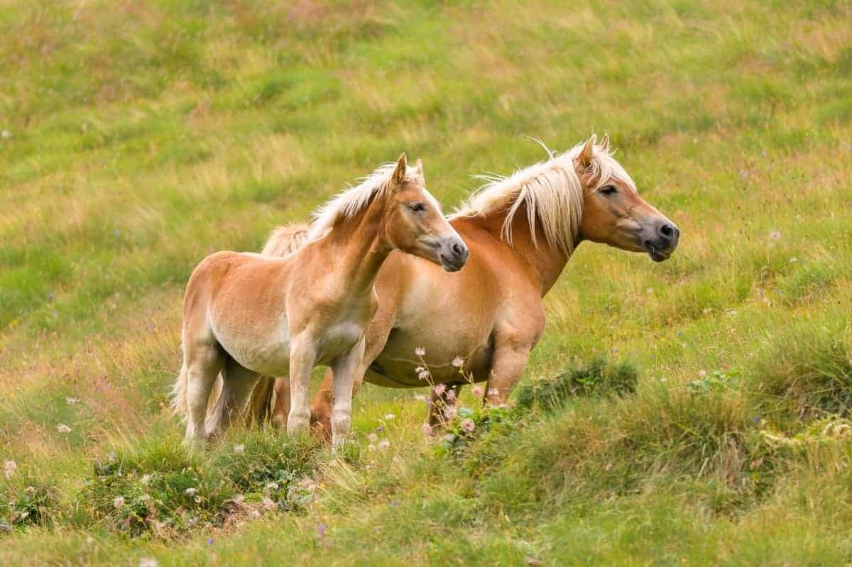 Palomino horse and her colt
