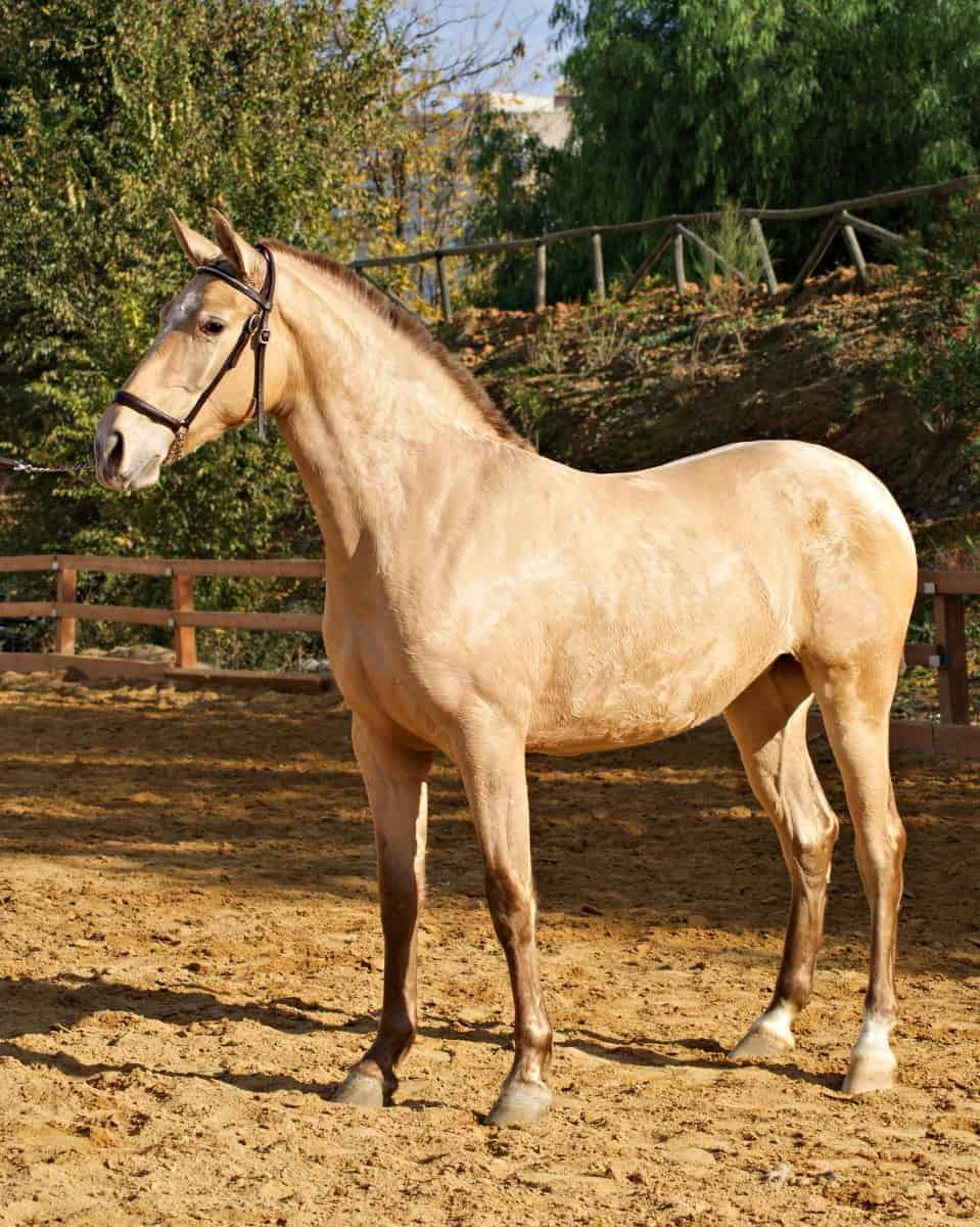 Other colors confused with palomino - Champagne horse