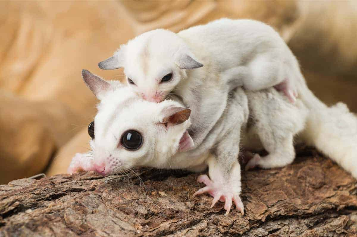 Sugar glider with its baby on its back