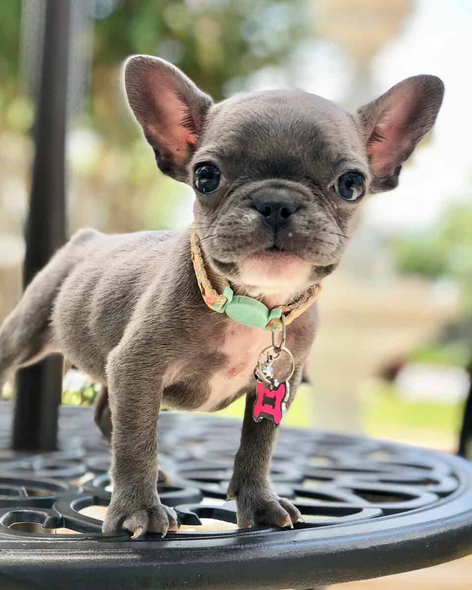 Teacup French Bulldog puppy runt of the litter