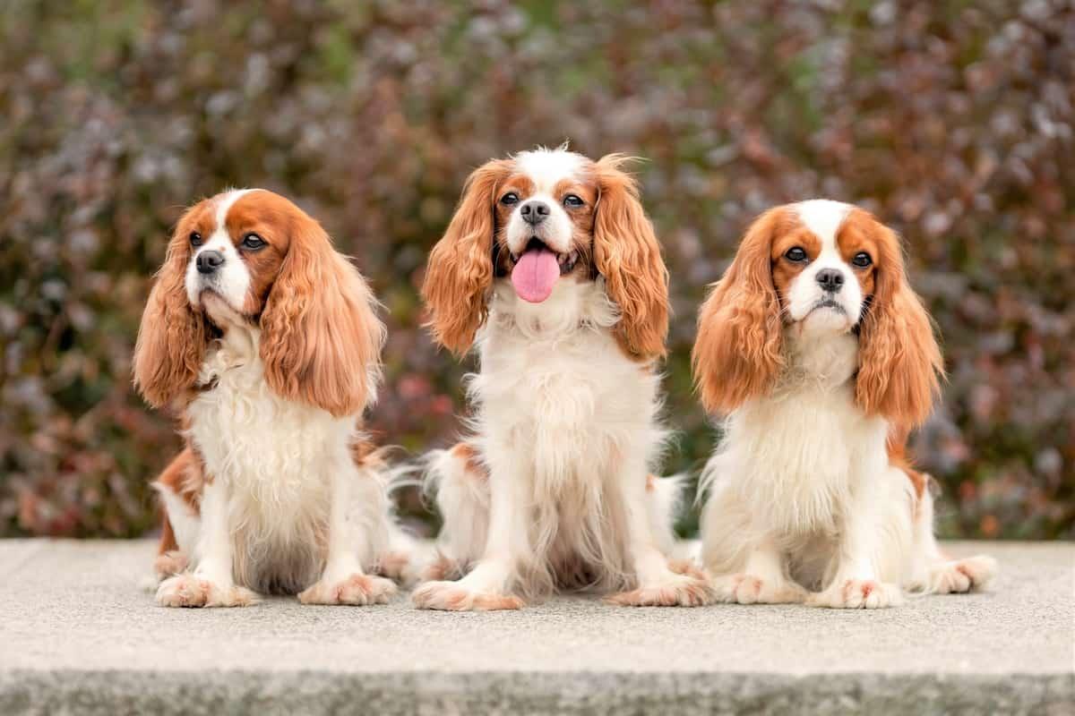Three Cavalier King Charles Spaniels for adoption