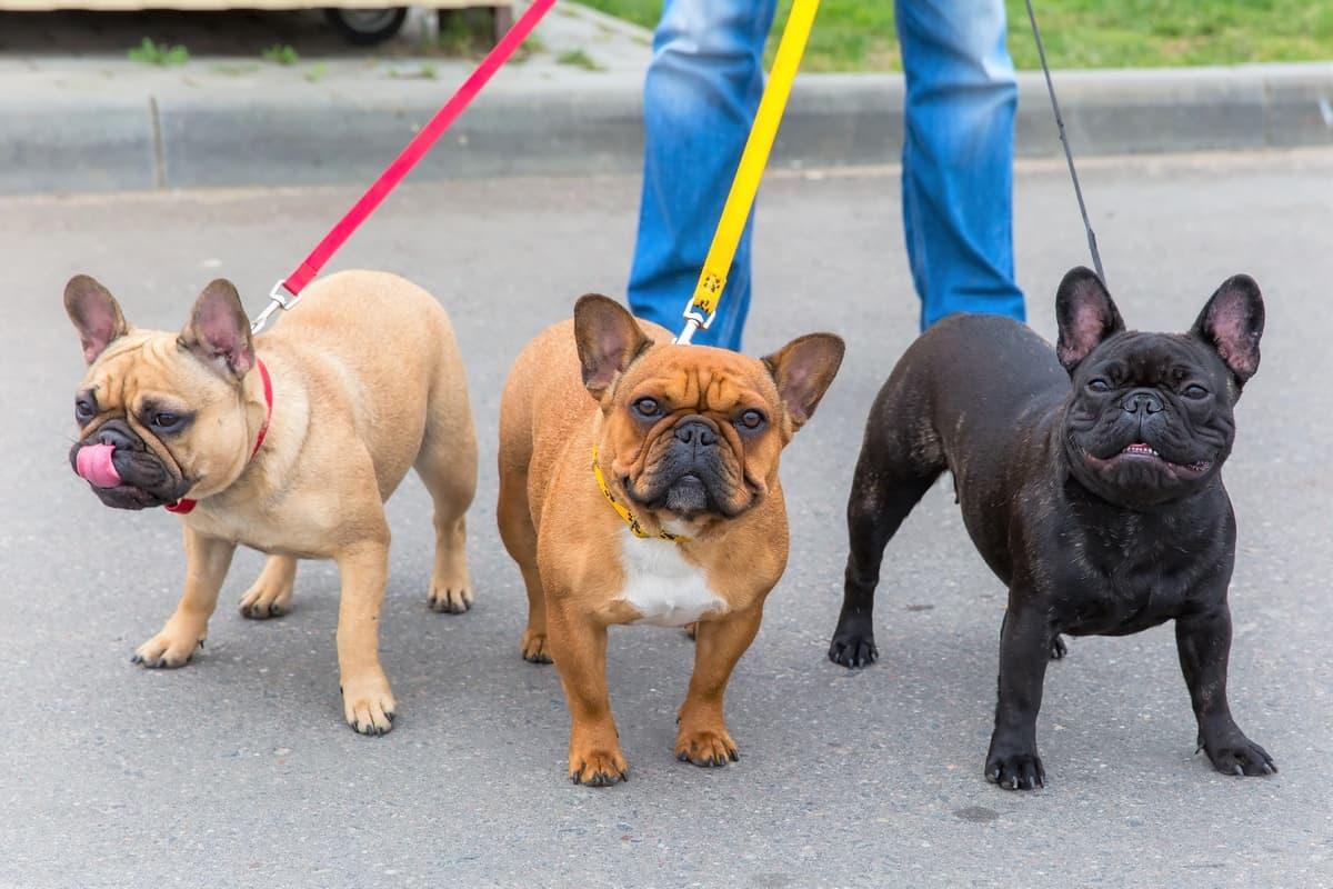 Three French Bulldogs for adoption