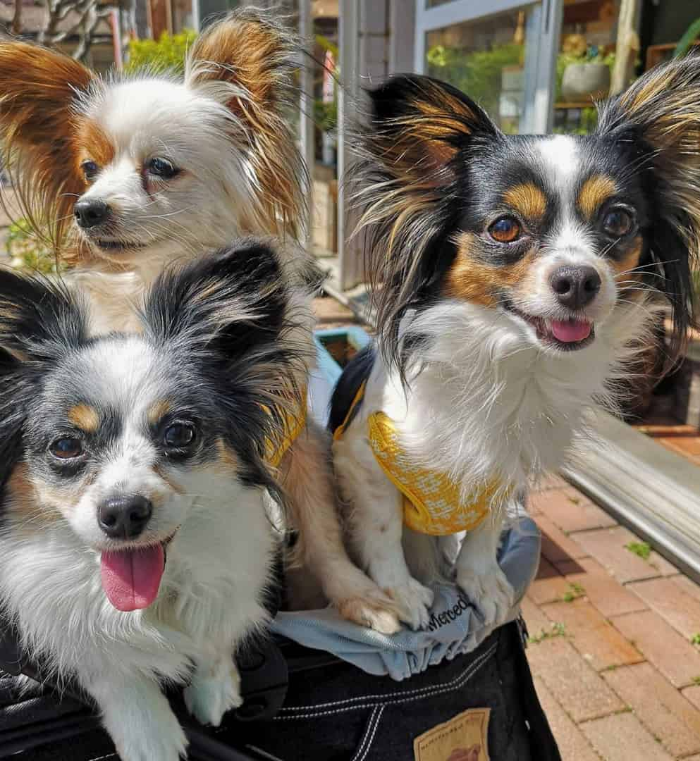 Three Papillons of different coat colors and markings