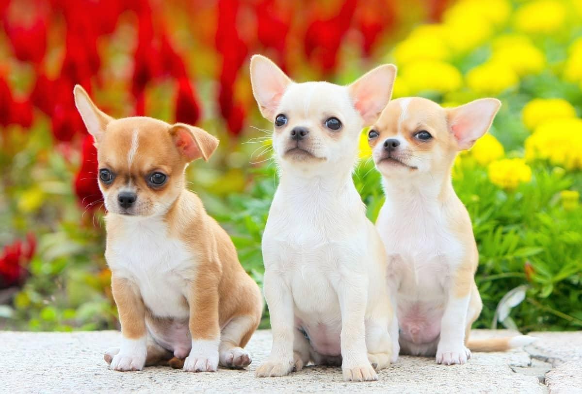 Three beautiful Chihuahua rescues sitting