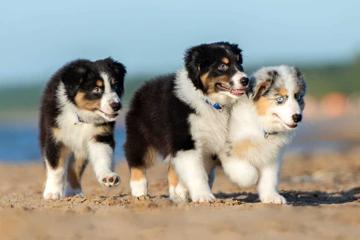 Three cute Australian Shepherd puppies for sale on the beach