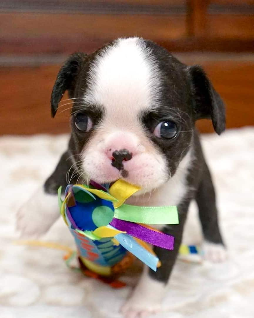 Tiny teacup Frenchie biting his toy