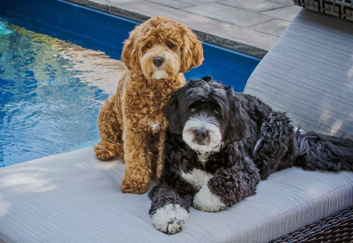 Two Bernedoodle puppies for sale in a swimming pool