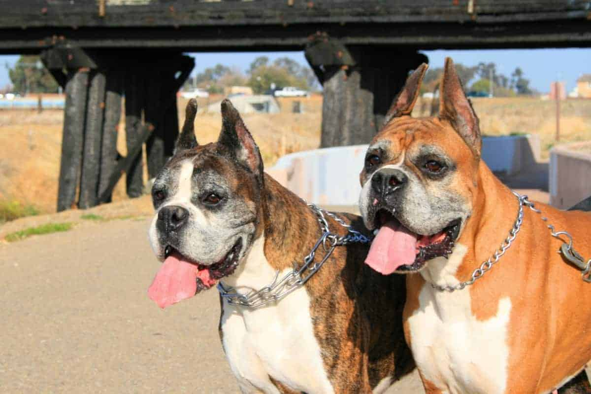 Two Boxers with different colors