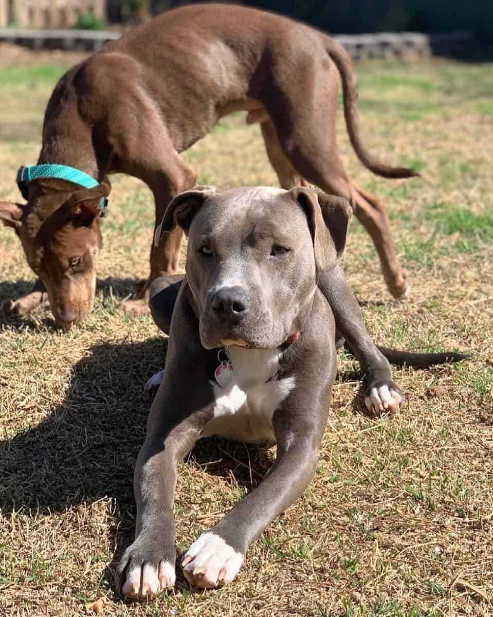 Two Colby Pitbulls playing