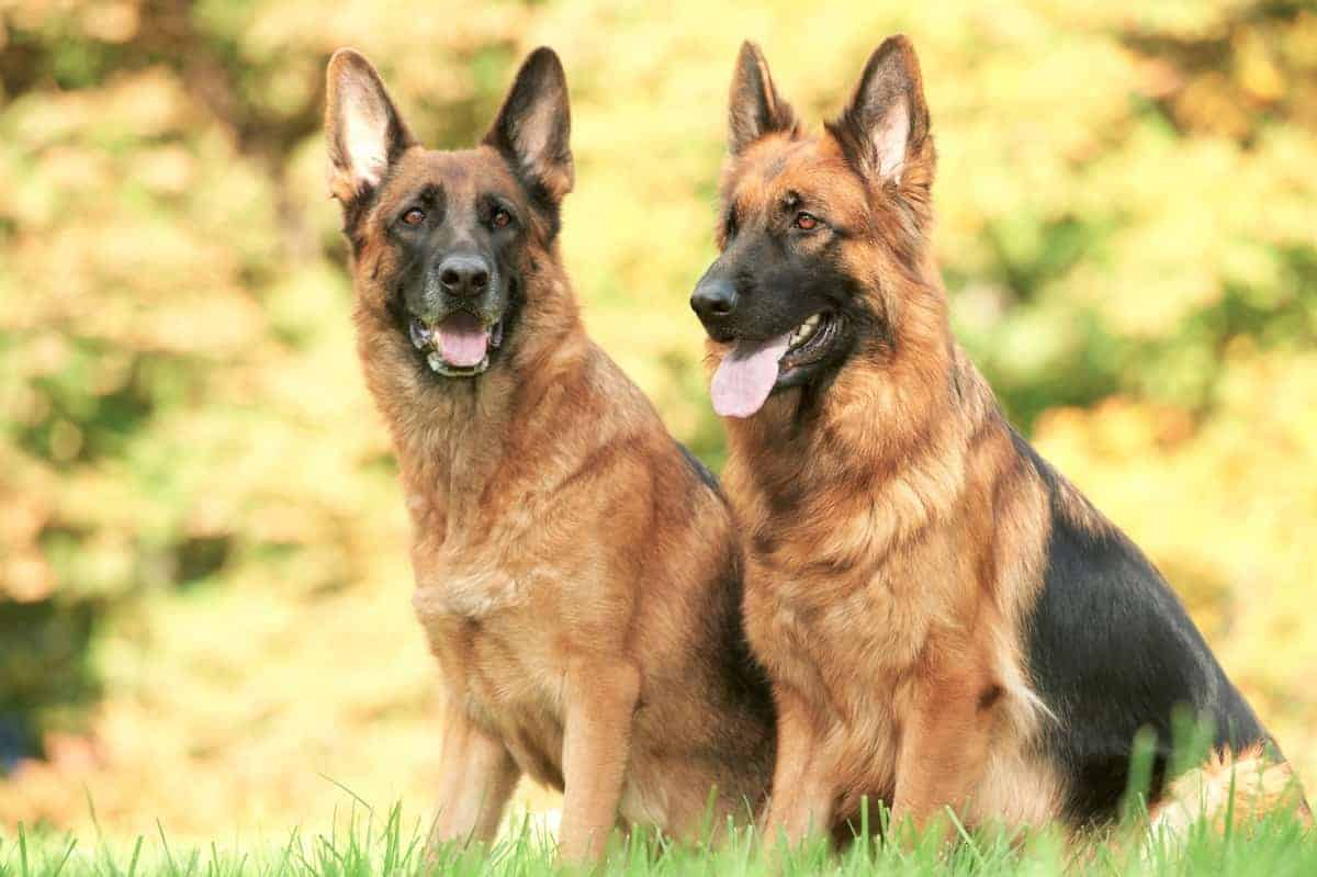 Two adult German Shepherds for adoption