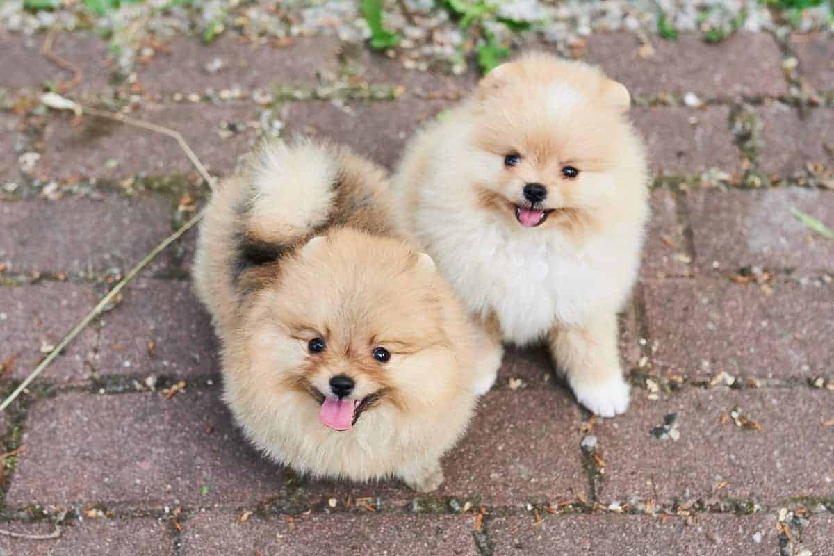 Two cream Pomeranian puppies for sale in the street