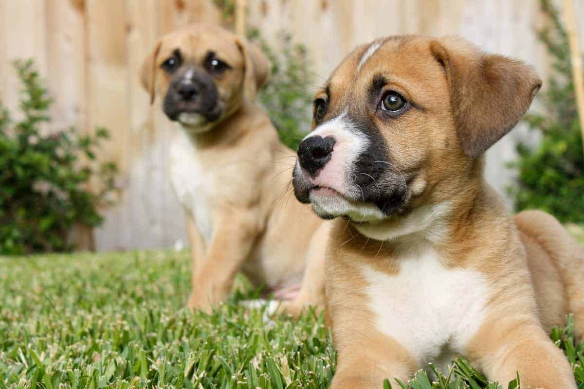 Two cute Boxer puppies for sale
