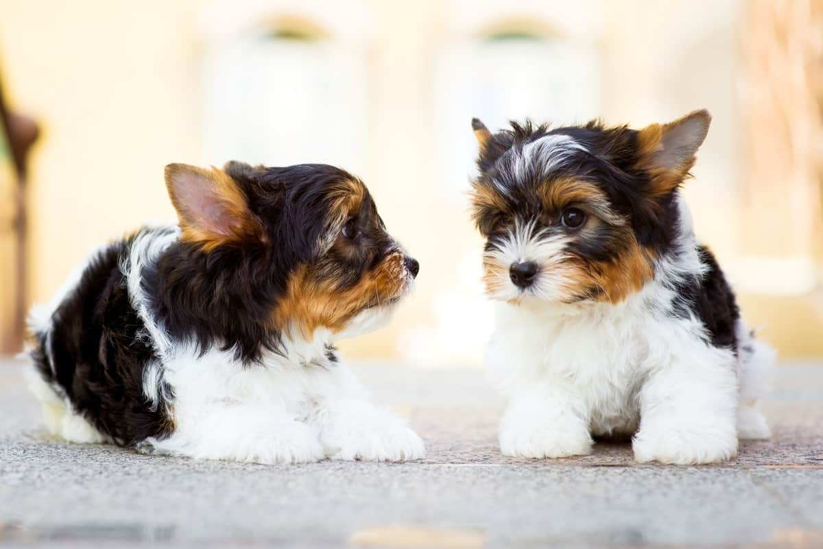 Two cute Yorkshire Terrier puppies for sale