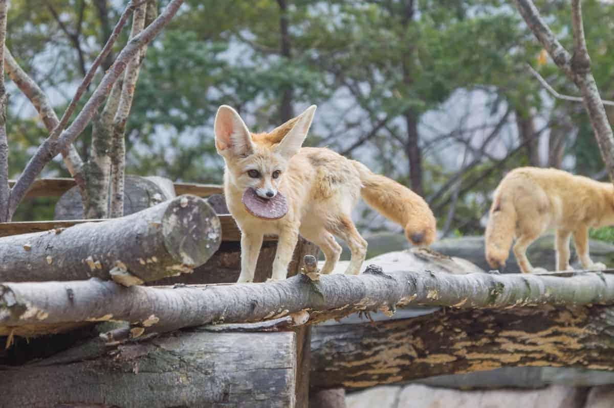 Two fennec foxes for sale