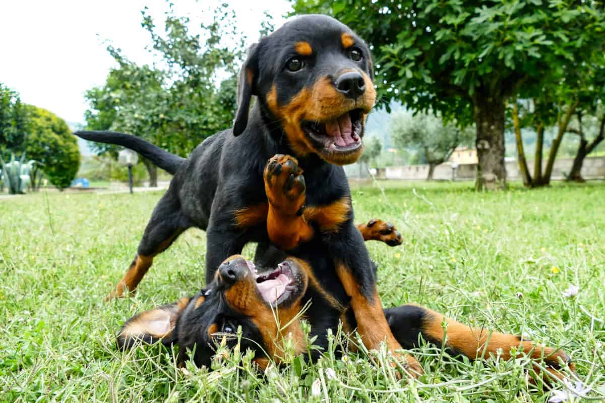 Two funny Rottweiler puppies for sale playing outdoors