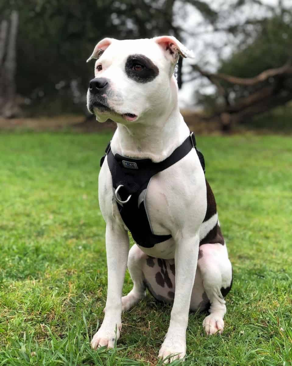 White and black Colby Pitbull sitting on grass