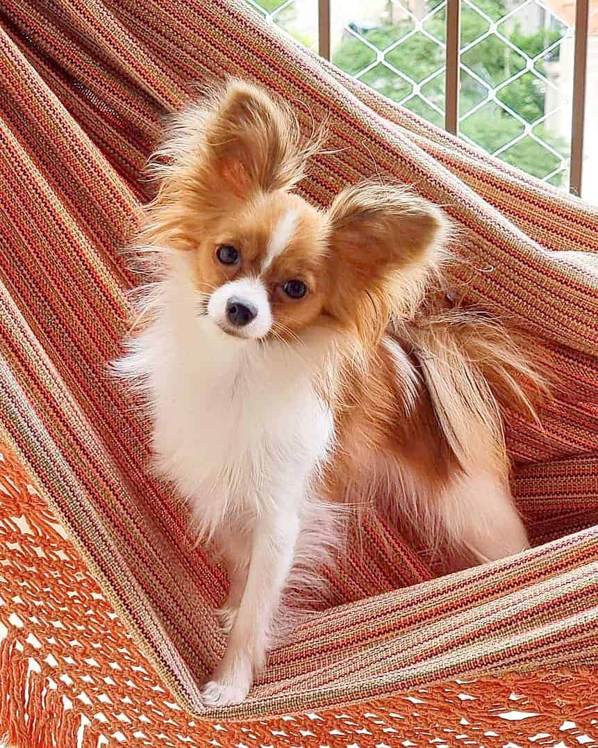 White and red Papillon