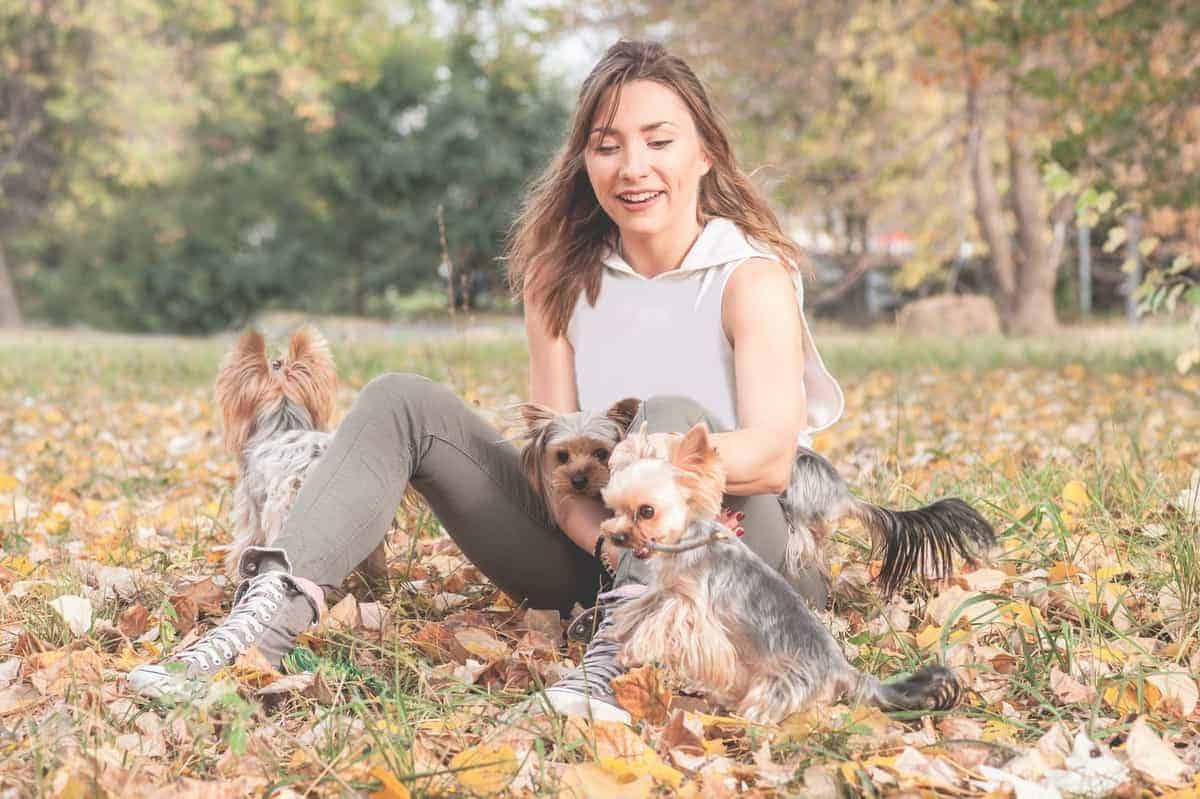 Young girl playing with her Yorkshire Terrier rescues