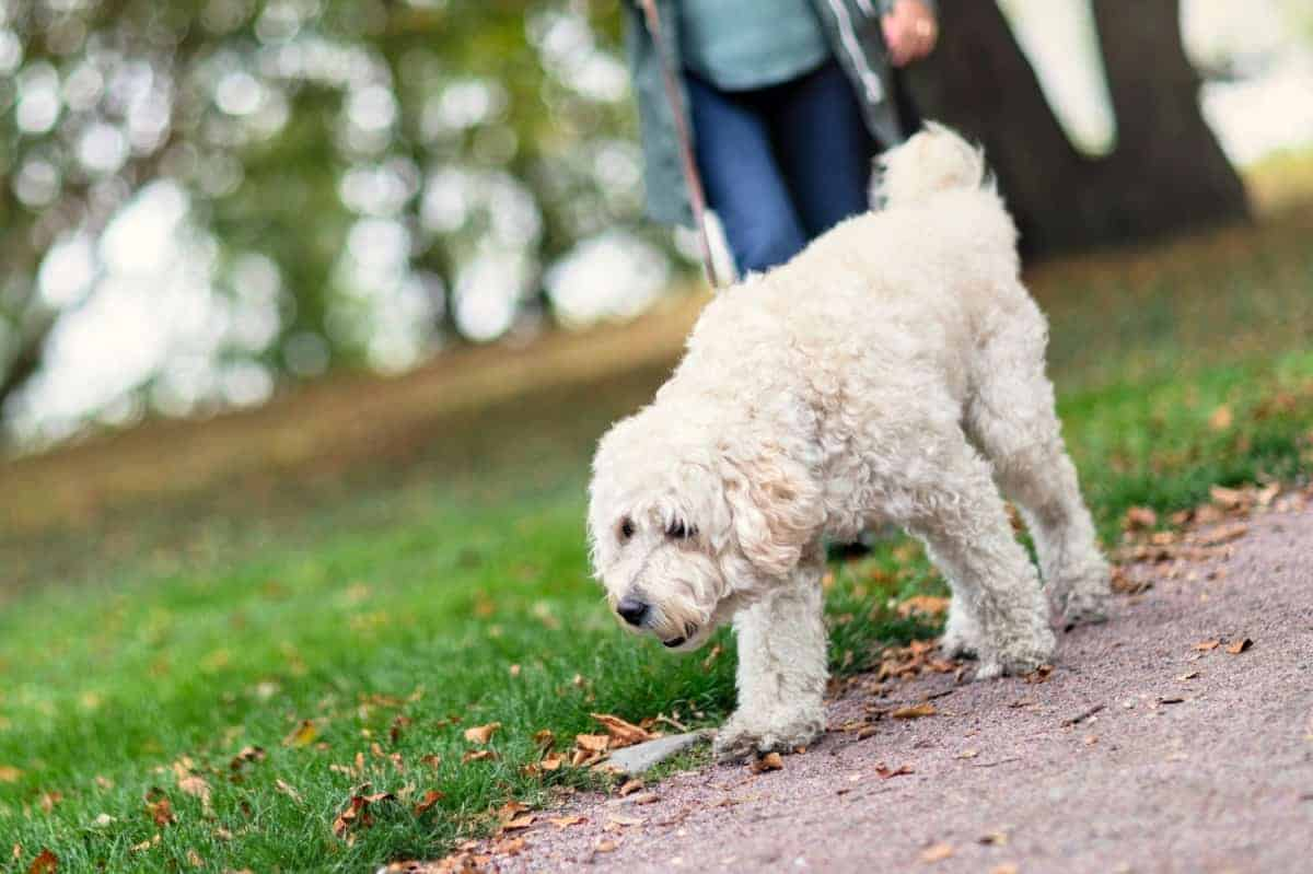 White labradoodle out on a dog walk