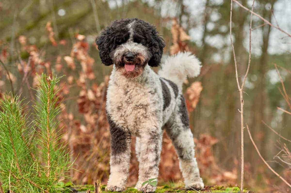 Best Labradoodle Rescue for Adoption