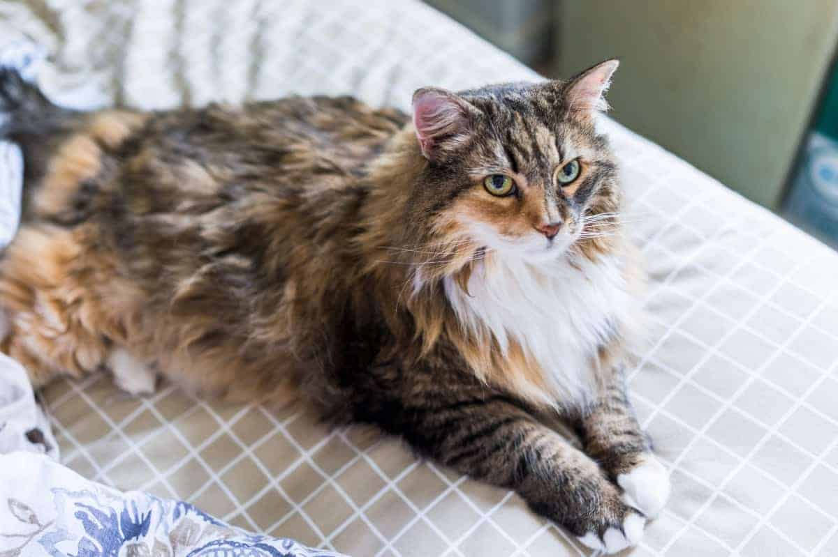 Best Maine Coon Rescue for Adoption