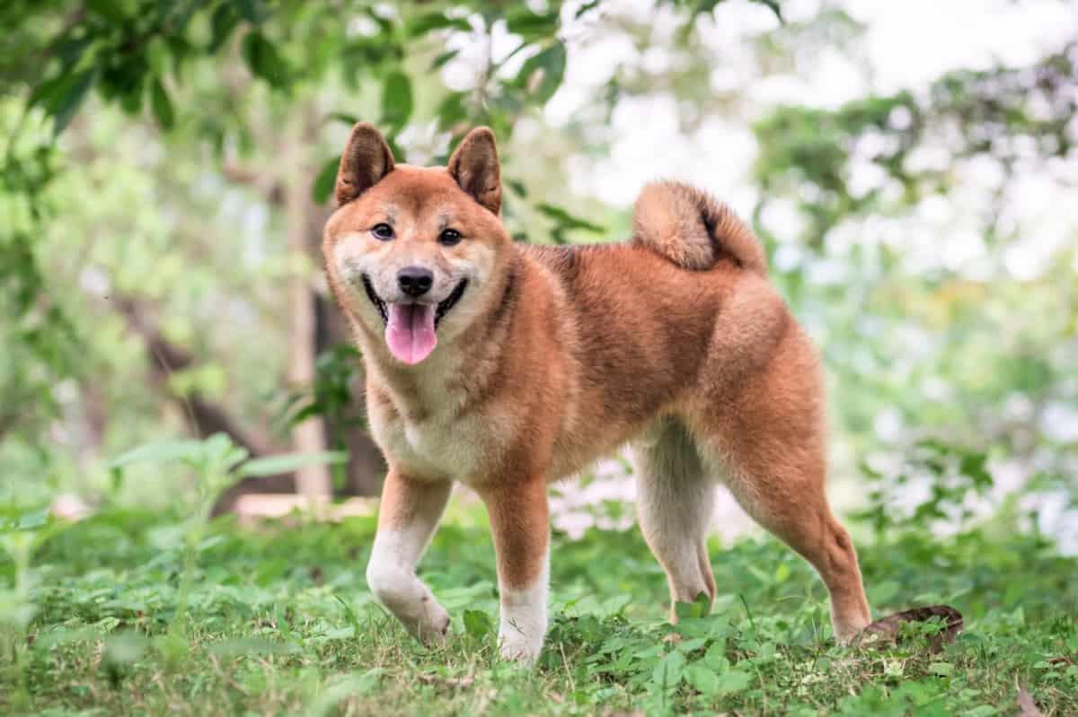 Best Shiba Inu Rescue for Adoption