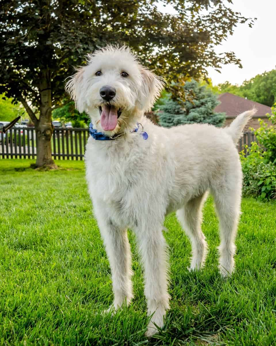 Rescue Labradoodle in a foster home